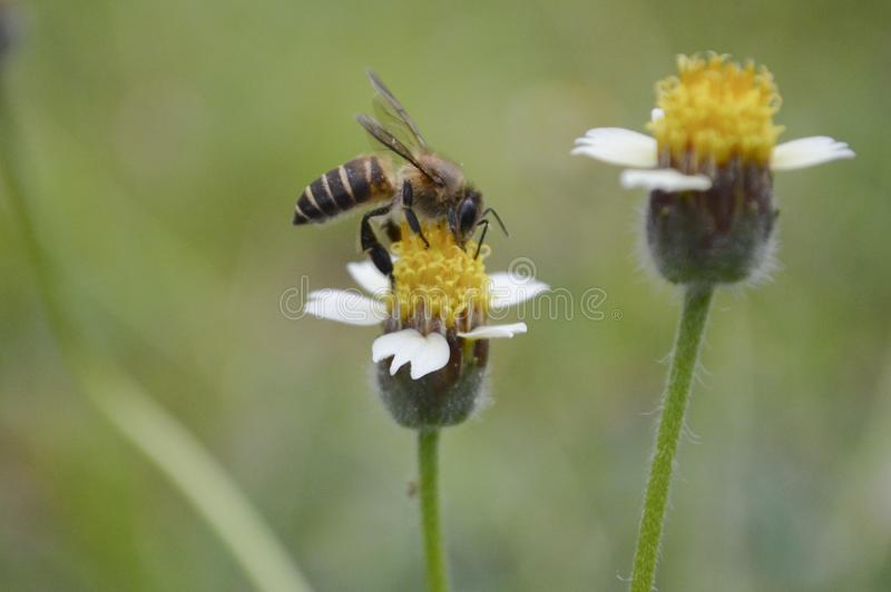 A Bee Is Collecting The Honey. A bee is staying to collect the honey on the flower stock photos