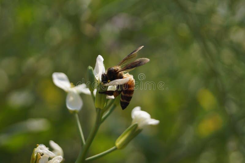 Bee. Sucking nectar royalty free stock photos