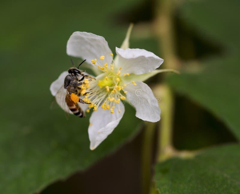 Evergreen rose flower. A bee sucking nectar in a blossomed Evergreen rose flower stock photo