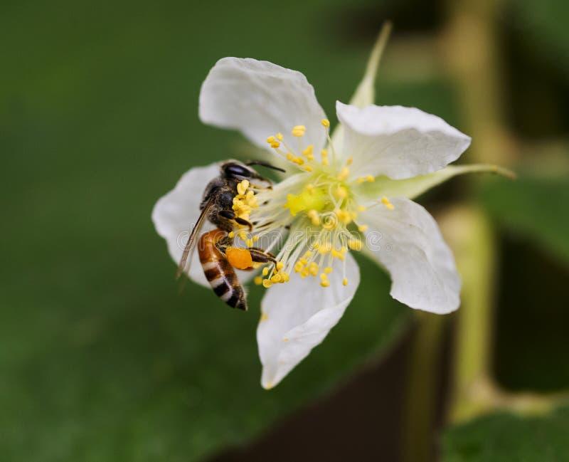 Evergreen rose flower. A bee sucking nectar in a blossomed Evergreen rose flower stock images