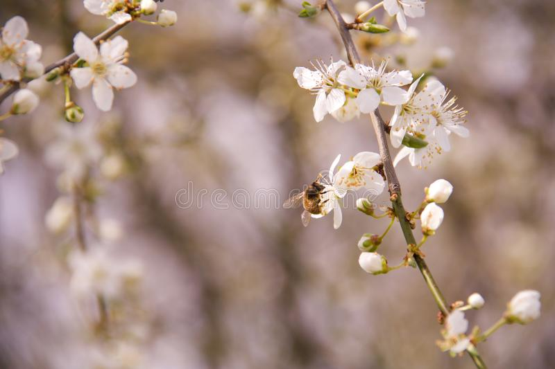 Bee sucking nectar from a plum tree flower royalty free stock images