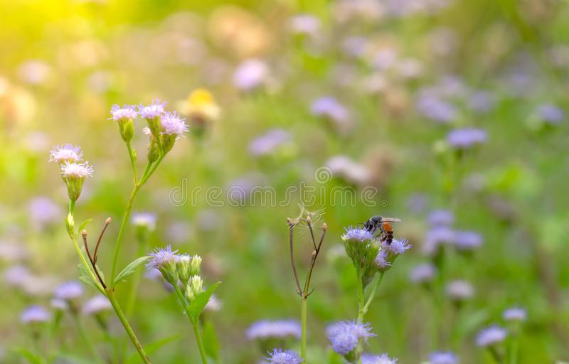 Bee in suckling nectar in purple grass flower in the garden. Background for spa and relaxing concept. Green and violet nature royalty free stock image