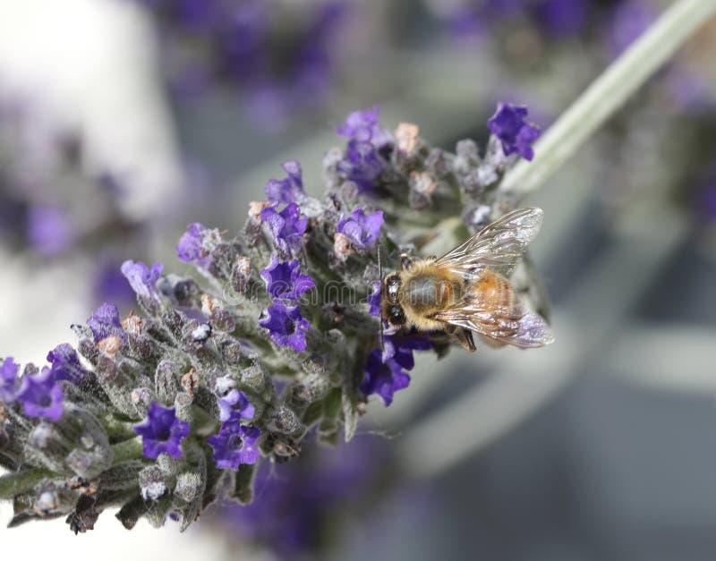 Bee sucks a flower of lavender. Big bee sucks a flower of lavender royalty free stock photo
