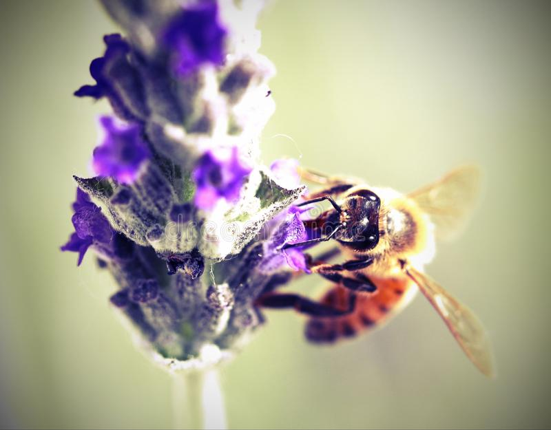 Bee sucks a flower of lavender. Big bee sucks a flower of lavender stock photo