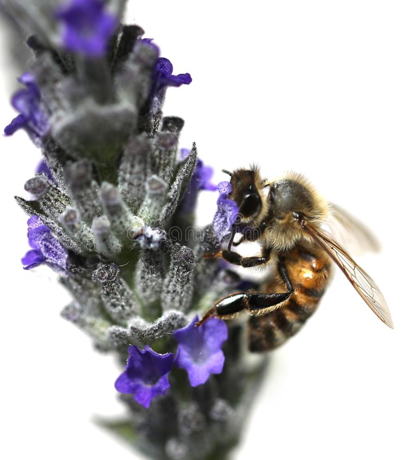 Bee sucks a flower of lavender. Big bee sucks a flower of lavender stock photos