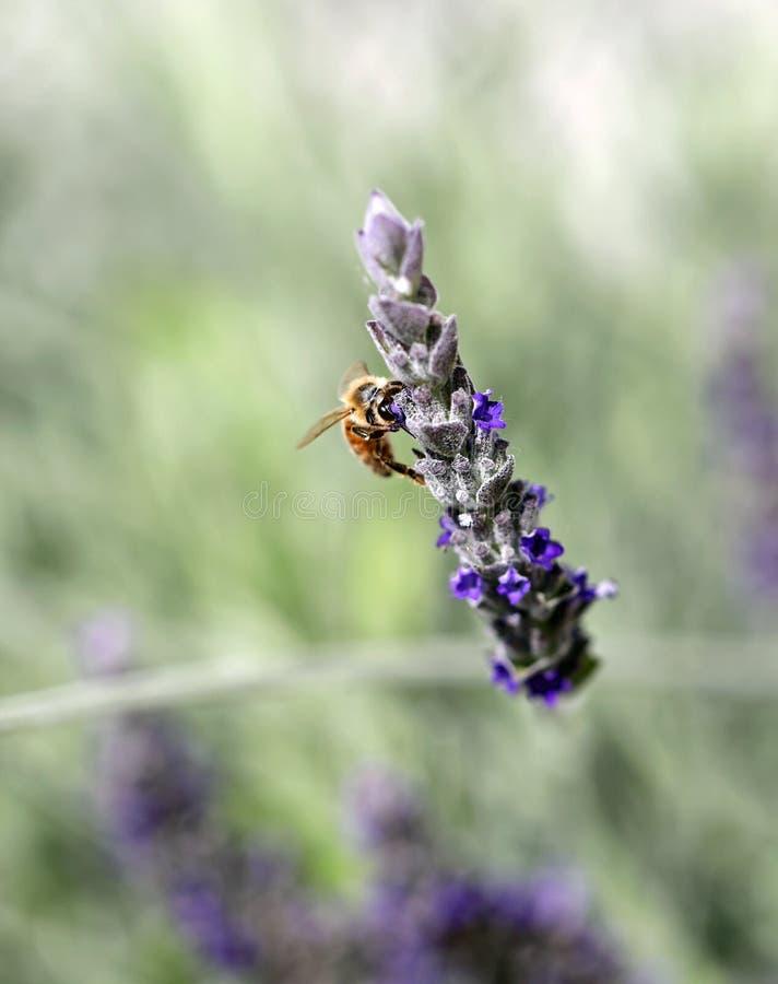 Bee sucks a flower. One bee sucks a flower of lavender stock photos
