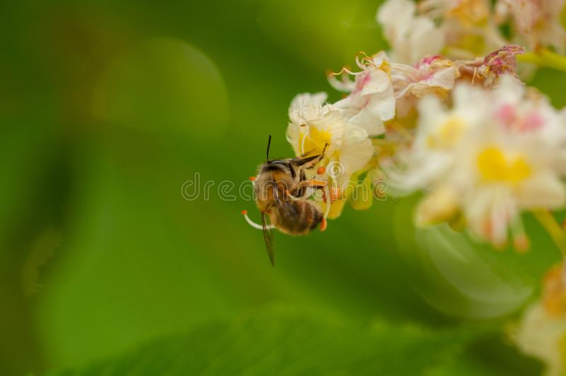 The bee sucks juice from the flower.Insect in nature. The bee sucks juice from the flower insect beautiful closeup green blossom nature garden natural honeybee royalty free stock photo