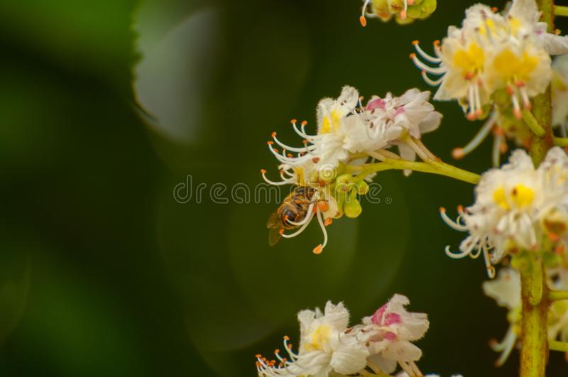 The bee sucks juice from the flower.Insect in nature. The bee sucks juice from the flower insect beautiful closeup green blossom nature garden natural honeybee stock image
