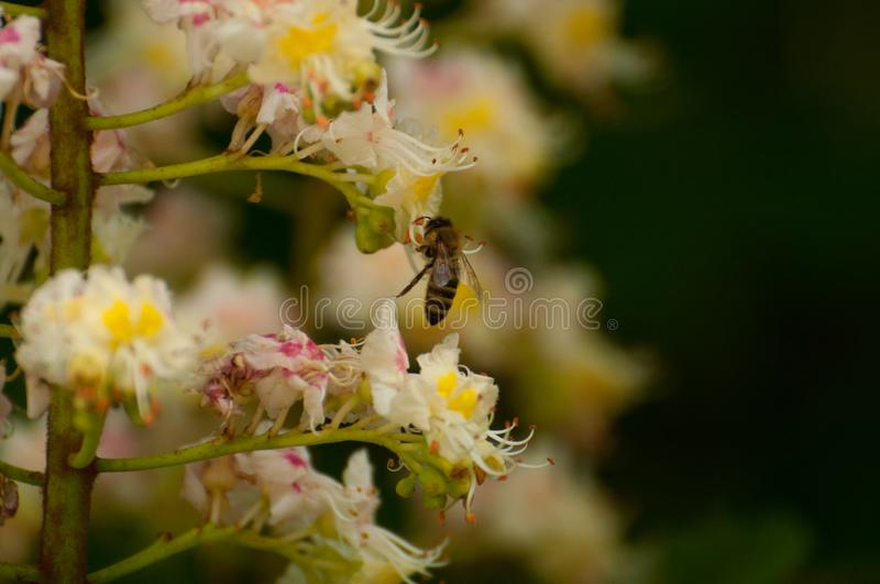 The bee sucks juice from the flower.Insect in nature. The bee sucks juice from the flower insect beautiful closeup green blossom nature garden natural honeybee royalty free stock photos