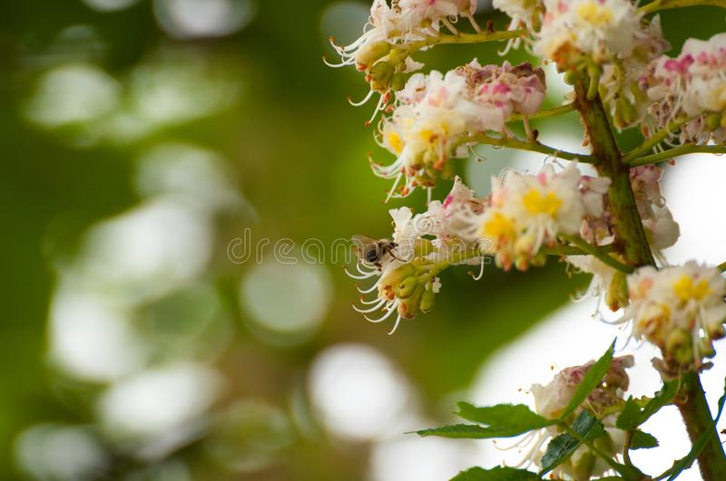 The bee sucks juice from the flower.Insect in nature. The bee sucks juice from the flower insect beautiful closeup green blossom nature garden natural honeybee royalty free stock images