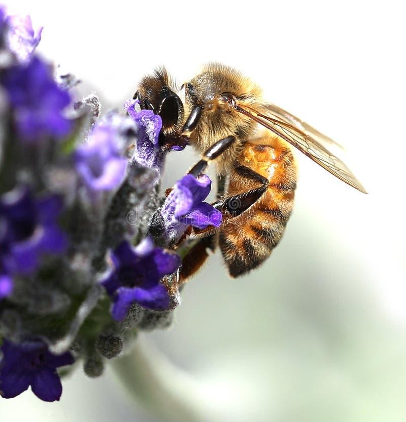 Bee sucks a lavender flower. Big bee sucks a lavender flower stock photo