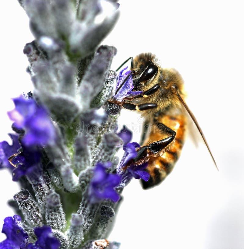 Bee sucks a lavender flower. Big bee sucks a lavender flower stock photography
