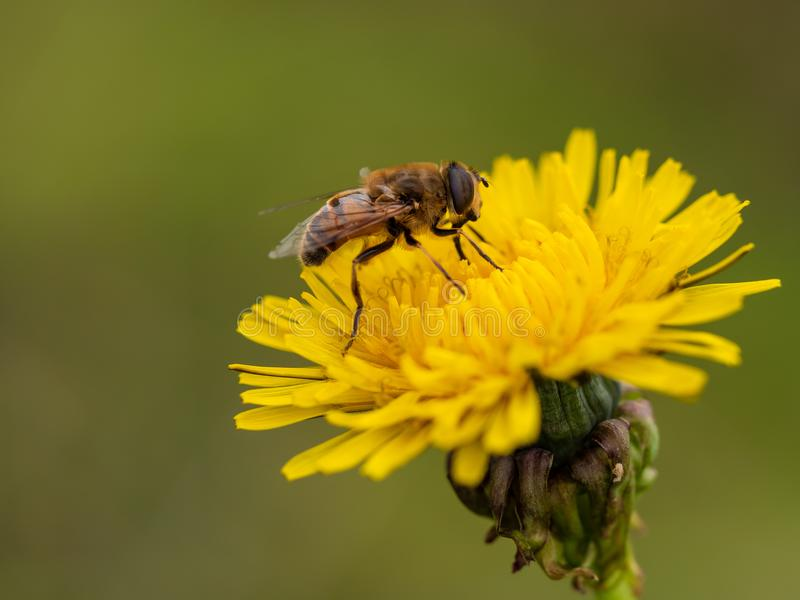 Bee sucks nectar from a dandelion, close up. Blurry background royalty free stock photo
