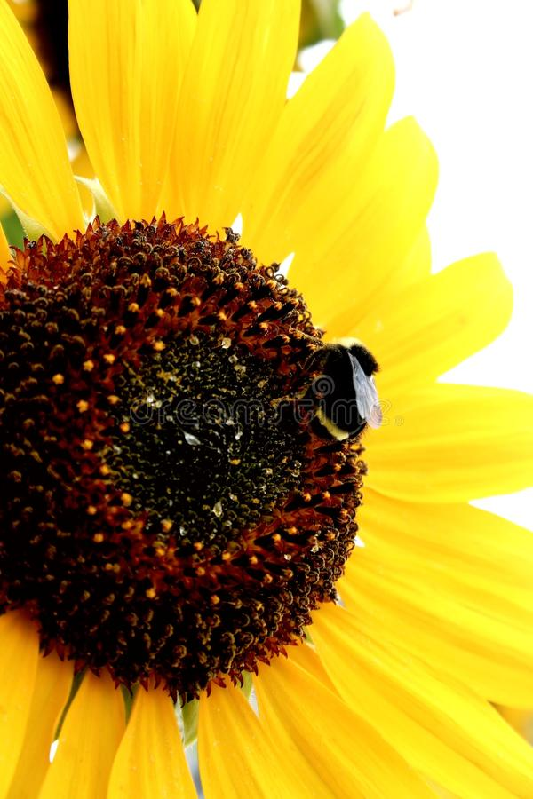 Download Bee on a Sunflower stock photo. Image of bumble, abundance - 10493624