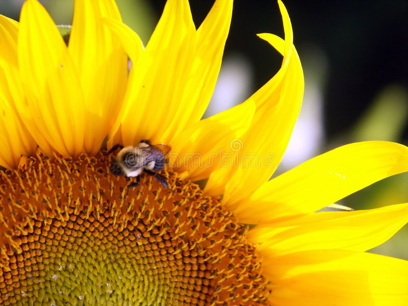 Download Bee On Sunflower stock photo. Image of petal, blooming - 184956