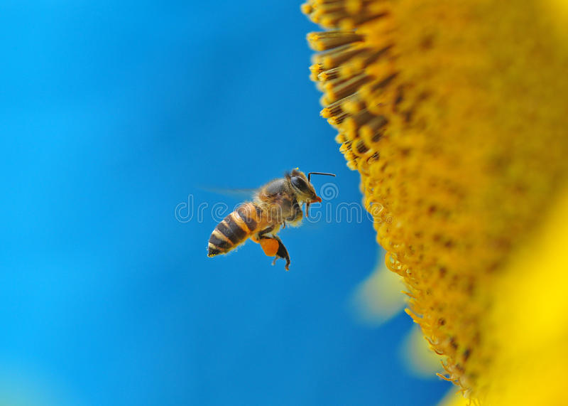 Bee and sunflower royalty free stock photography