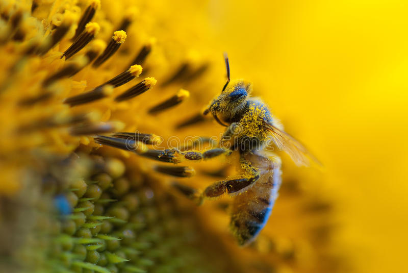 Download Bee on sunflower stock image. Image of foreground, head - 27521767