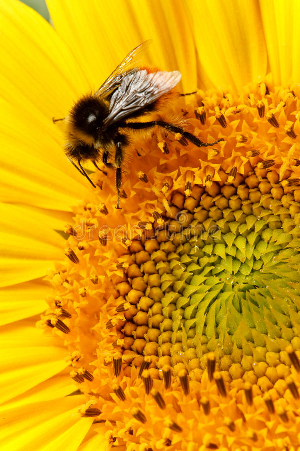 Download Bee on sunflower closeup stock image. Image of flora - 18645665