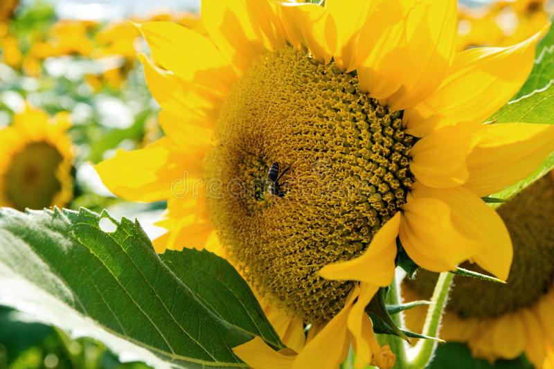 Bee on a sunflower closeup on a sunny day. royalty free stock photo
