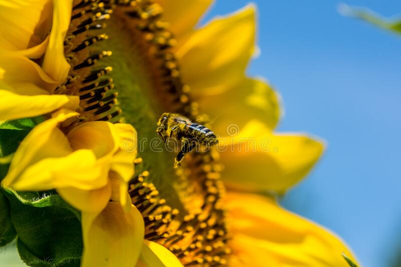 Bee on sunflower royalty free stock photo