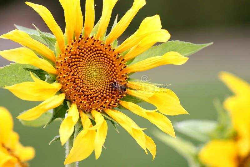 Bee & Sunflower stock photo
