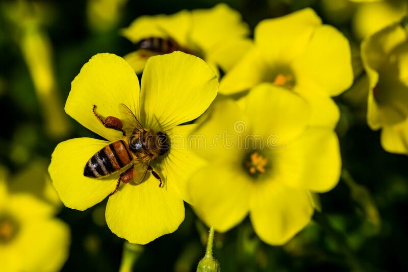 A bee takes pollen from a yellow flower royalty free stock image