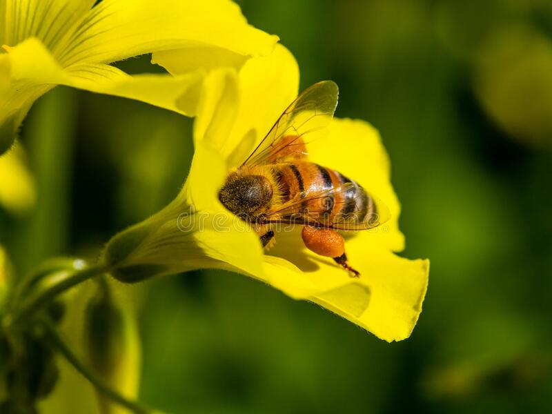 A bee takes pollen from a yellow flower in spring stock photography
