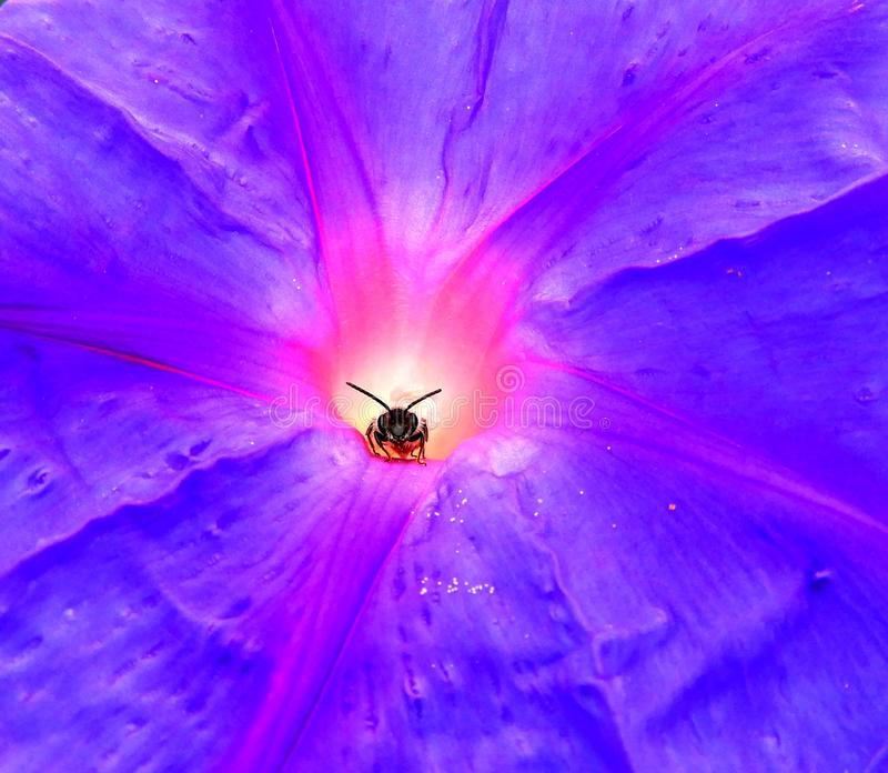 Bee peeking out of a flower. Bee is taking shelter from the rain, the sun is coming out and it`s just about to take flight again stock photo