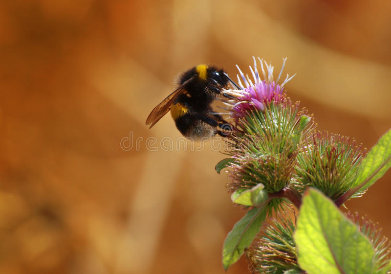 Bee on thistle. Looking for nectar stock photo