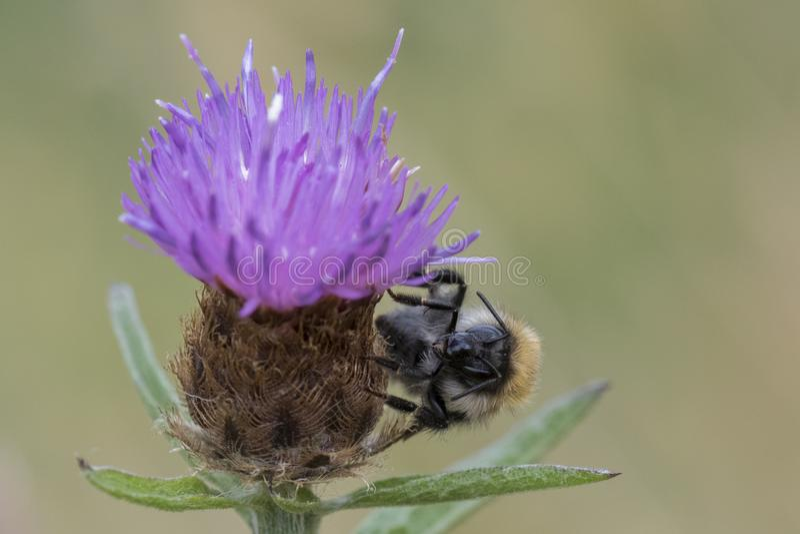 A bee on thistle on Southampton Common royalty free stock photos