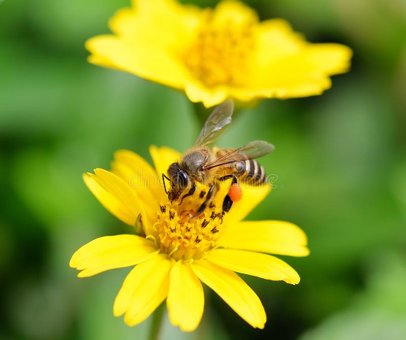Bee to a flower. royalty free stock photos