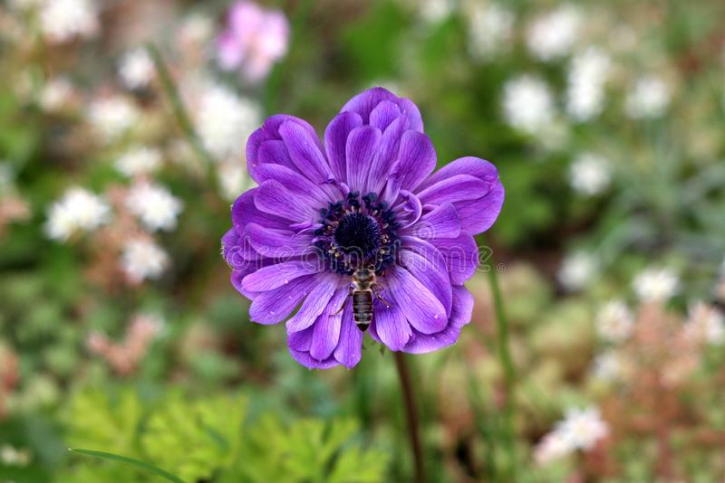 Bee on top of Anemone perennial plant with violet fully open blooming petals and dark black center growing in local garden. On warm sunny spring day stock photos