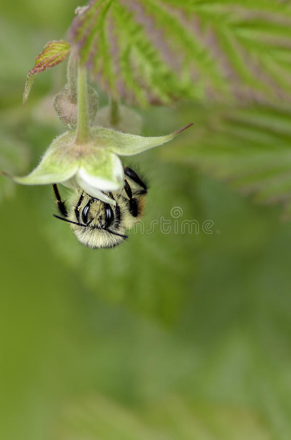 Download Bee on Top of the Flower stock photo. Image of bloom - 85130504