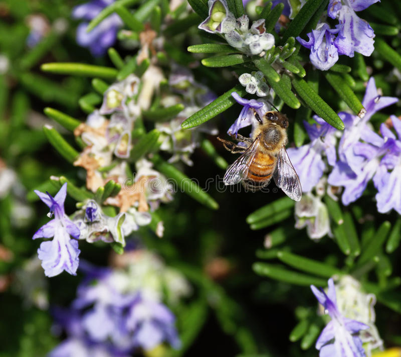 Download Bee stock image. Image of flower, nature, wildlife, white - 39514525