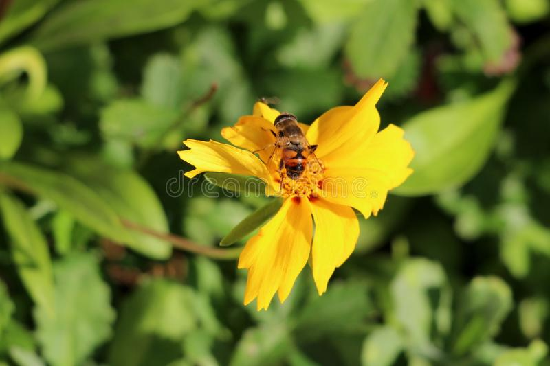 Bee on top of small bright yellow flower surrounded with dense green leaves in local home garden. On warm sunny autumn day stock image