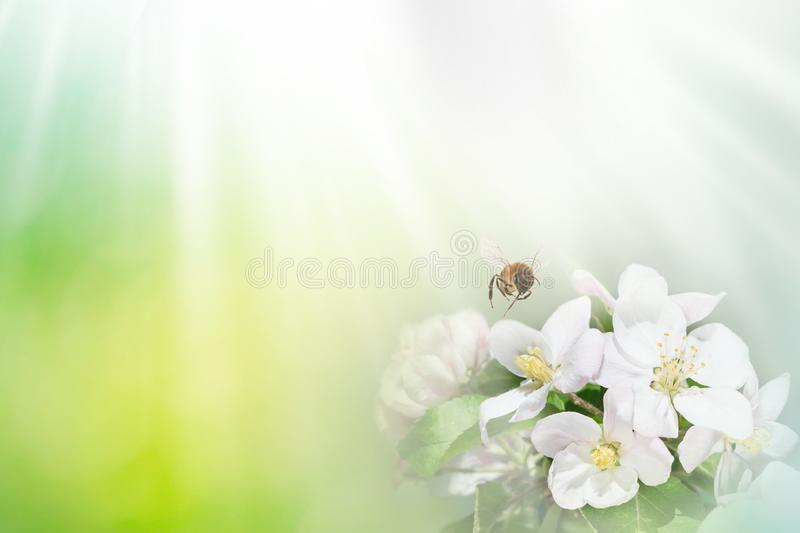Bee with tree flower on abstract light spring background. Space for text presentation royalty free illustration