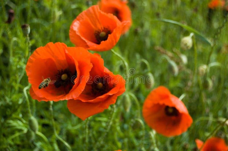A bee twirls near the red flowers of wild poppy o royalty free stock photos