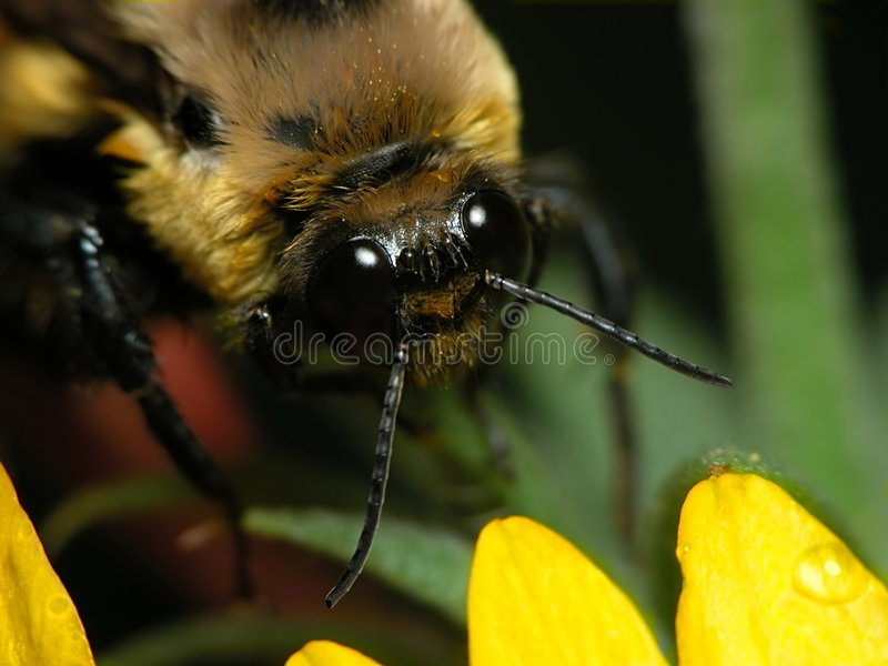 Bee Up Close royalty free stock image