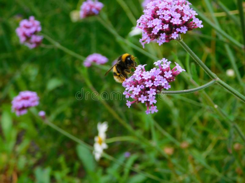 Bee on verbena stock photography