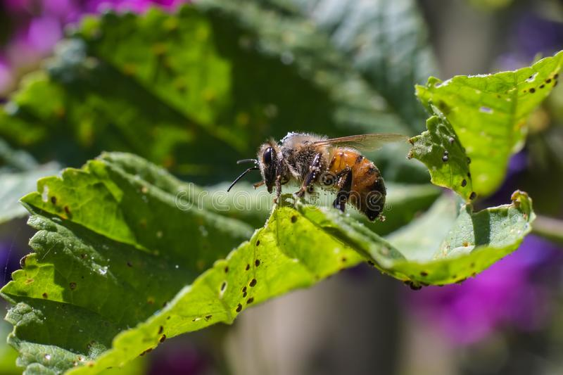 Bee walking on a green leaf full of small insects royalty free stock images