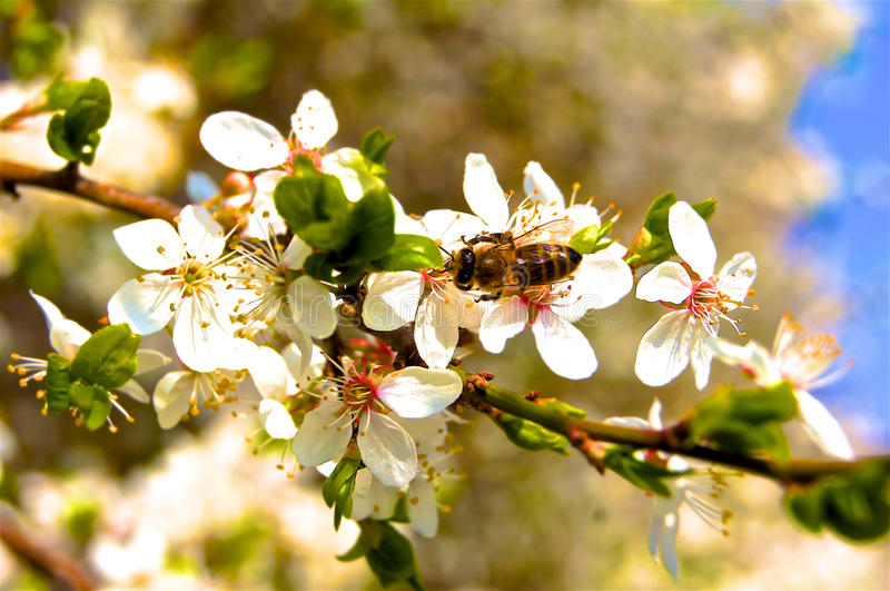 Bee wasp on blooming branch stock images