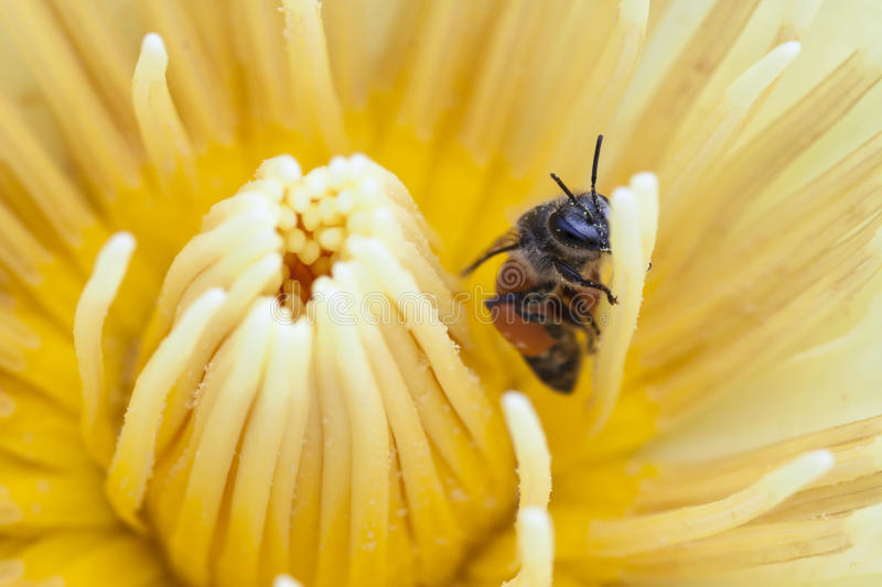 Bee on water lilly stock image