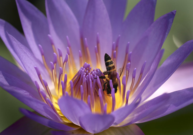 Bee and water lilly flower stock photo