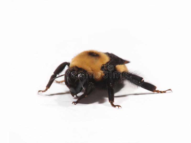 Download Bee on White stock image. Image of live, white, macro - 19697875