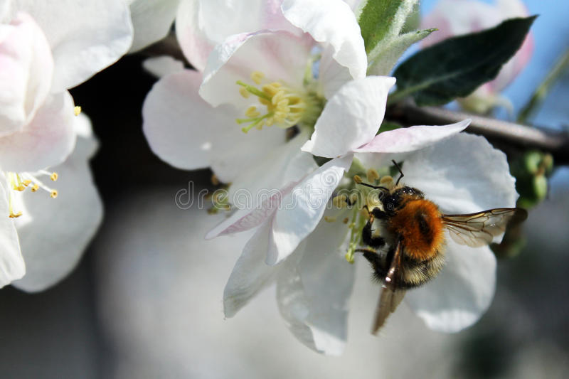 Bee and white apple blossom stock photography