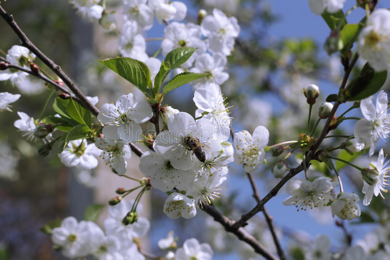 A bee on the white cherry blossom. Photo stock photos