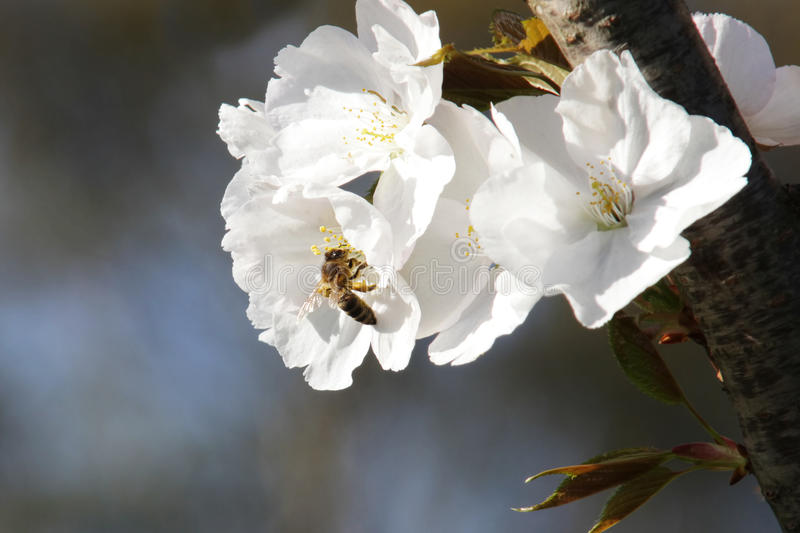 Download Bee Stock Photo - Image: 41559939