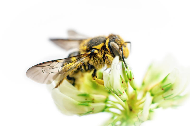 Bee on white clover flower. Isolated on white background stock images