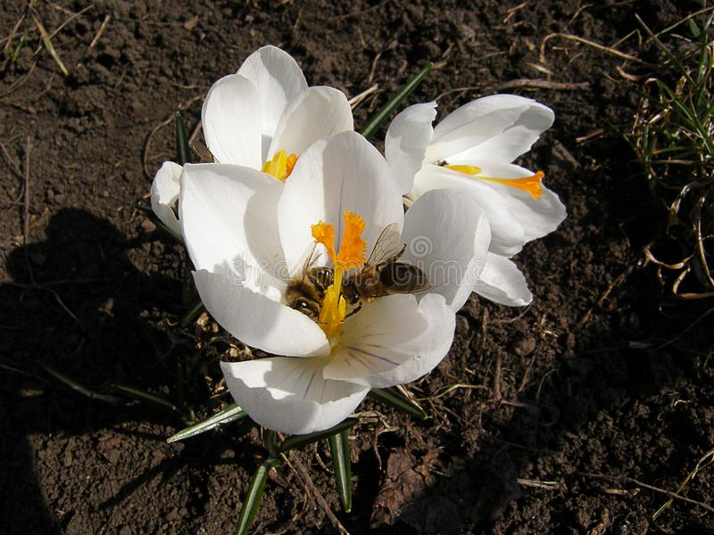 Bee in white crocus flower royalty free stock photography