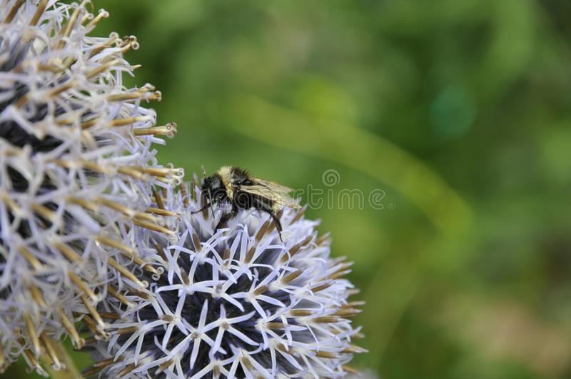 Bee on a white flower royalty free stock photography